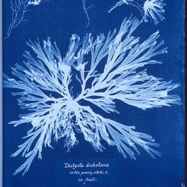 A cyanotype photogram made by Atkins which was part of her 1843 book, Photographs of British Algae: Cyanotype Impressions